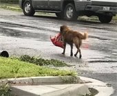 Dog carrying food, real photo after hurricane in US.